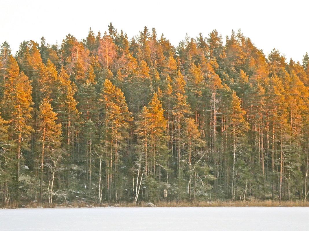 освещённый солнцем лес - Елена