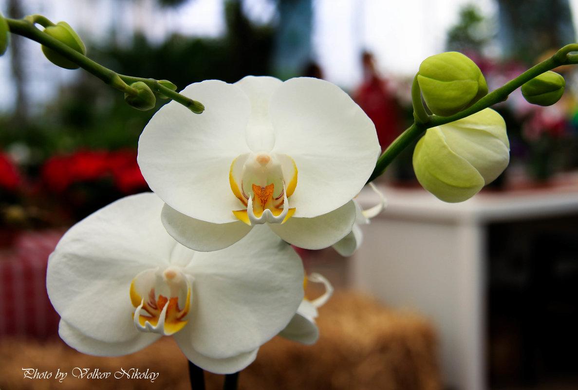 Орхидея - Николай Волков