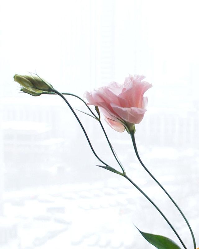 Изящный цветок Эустомы - Вера