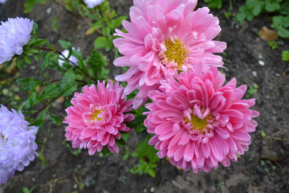 Розовое трио. - zoja