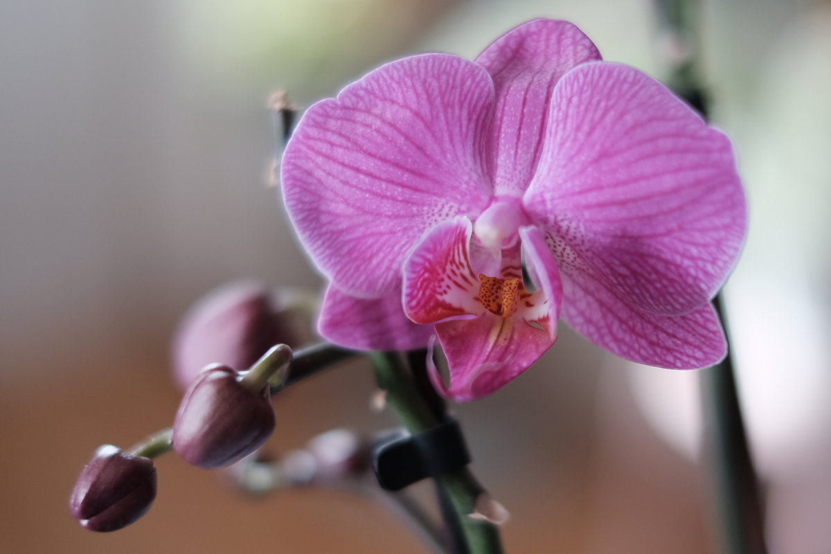 Орхидея - Александр Гапоненко