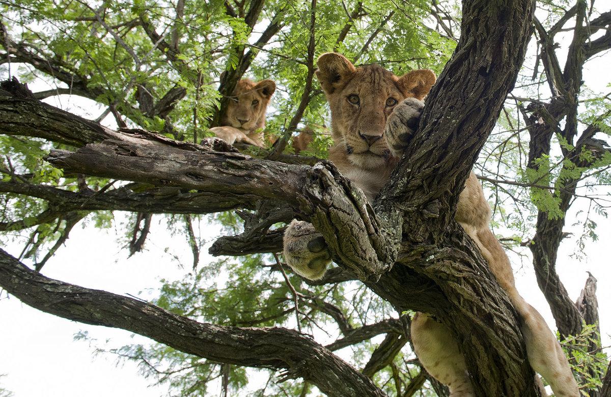 ЛЬВЫ НА ДЕРЕВЬЯХ (ТАНЗАНИЯ) - Volmar Safaris