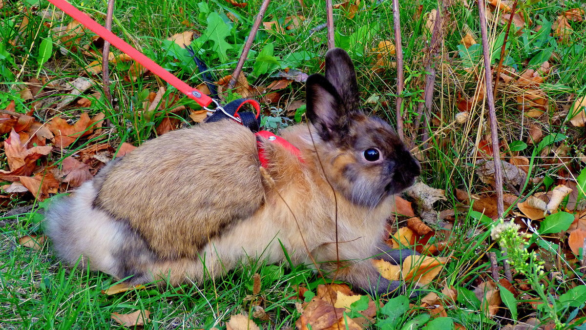 декоративный кролик на прогулке - Александр Прокудин