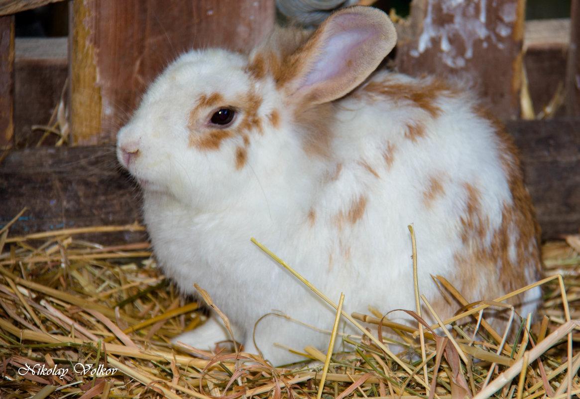 Кролики-это не только ценный мех.... - Николай Волков