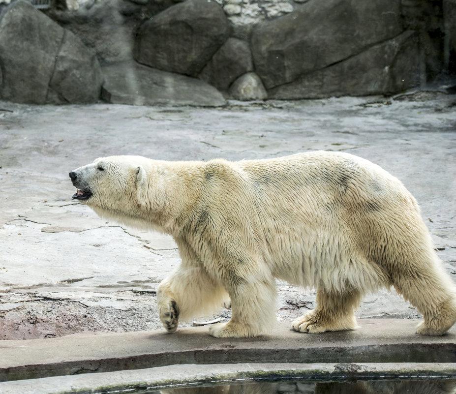 Белый Мишка - Олег Савин