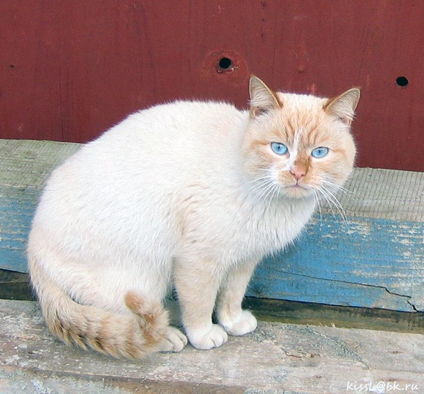 Кот с глазами цвета моря из посёлка Морское на Куршской косе. - Elena N