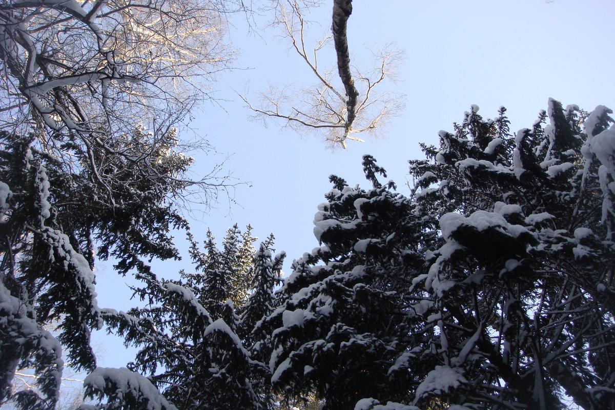 Верхушки деревьев зимой. - Antonina