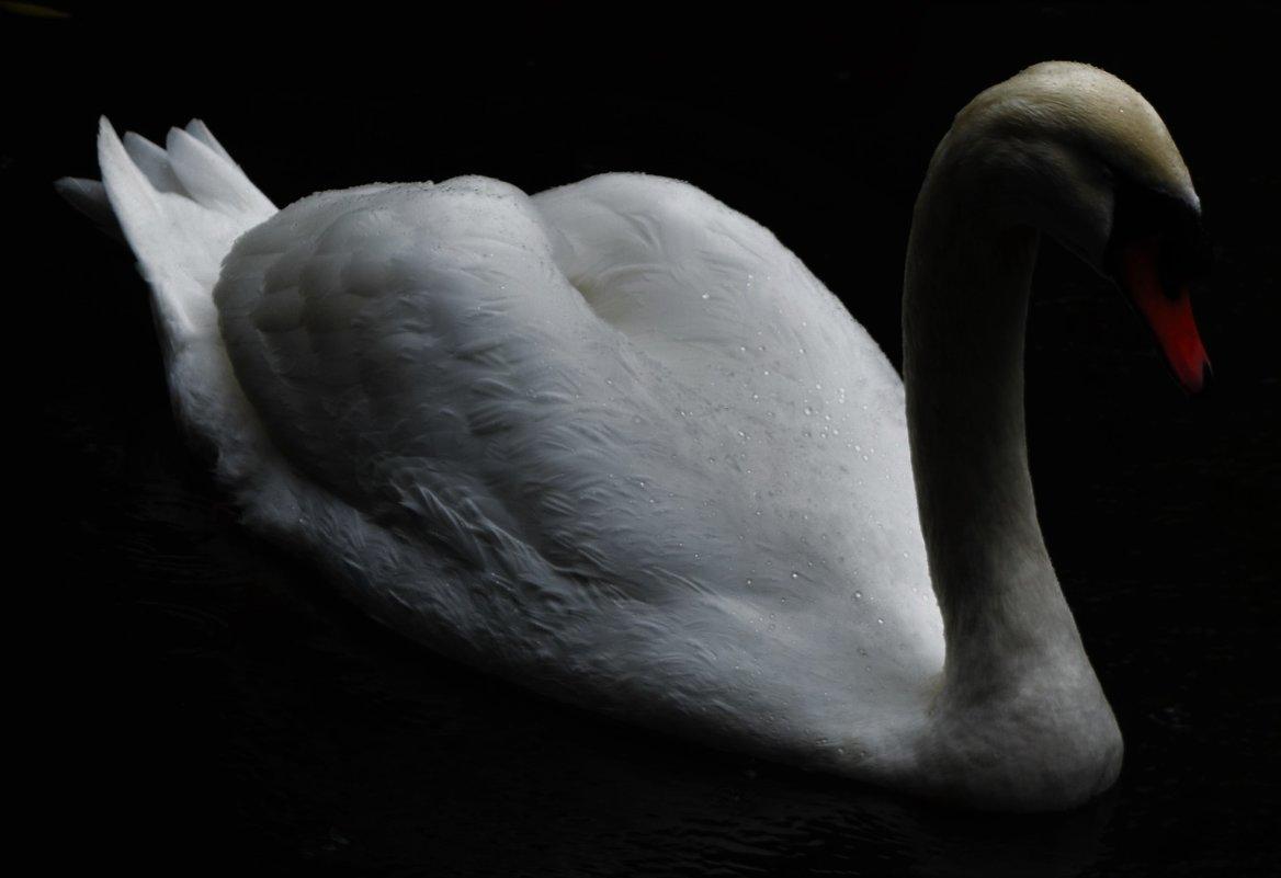 Лебедь с капельками дождя - Karolina