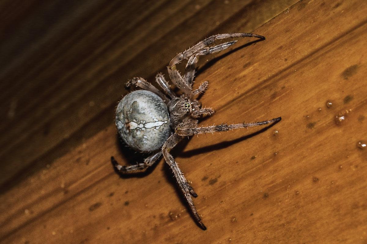 пауки крестоносцы фото