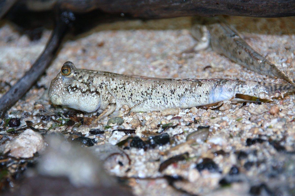 Илистый прыгун (лат. Periophthalmus) — род рыб из семейства бычковых (Gobiidae).. - Антонина