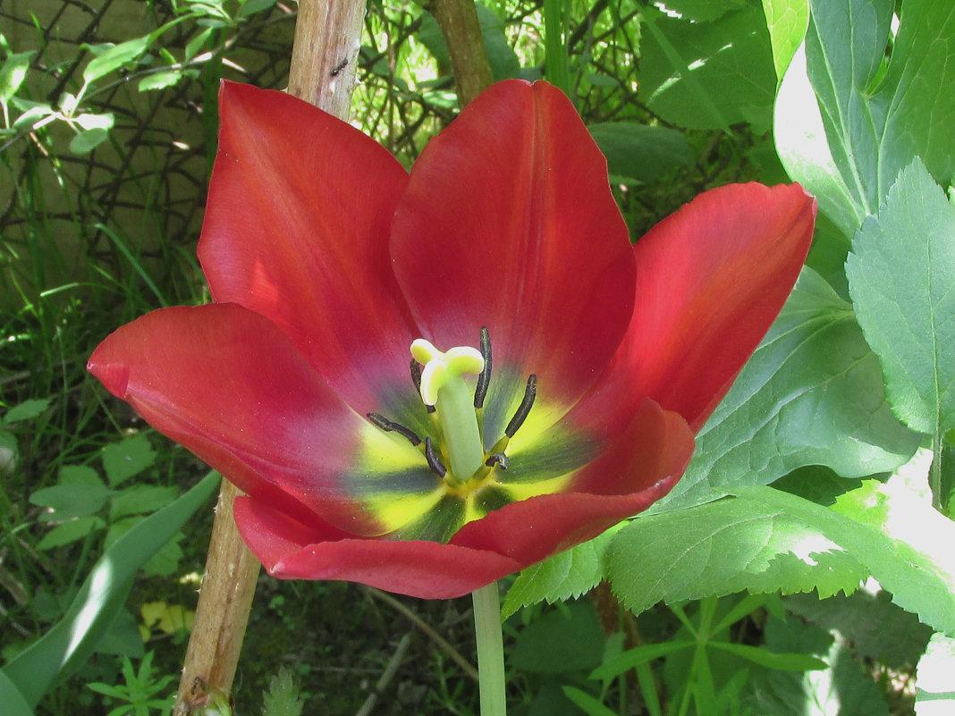 Сегодня в моем саду были замечены новые виды тюльпанов )) - НаталиЯ ***