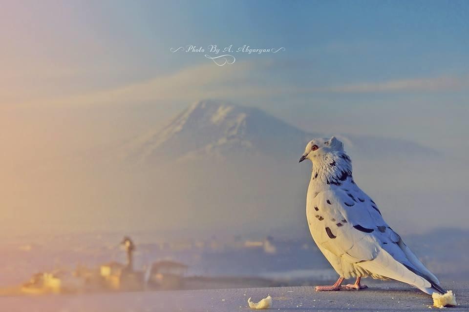 Голубь с горы Арарат - Армен Абгарян