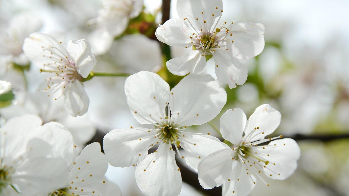 Цветёт вишня - Nikola