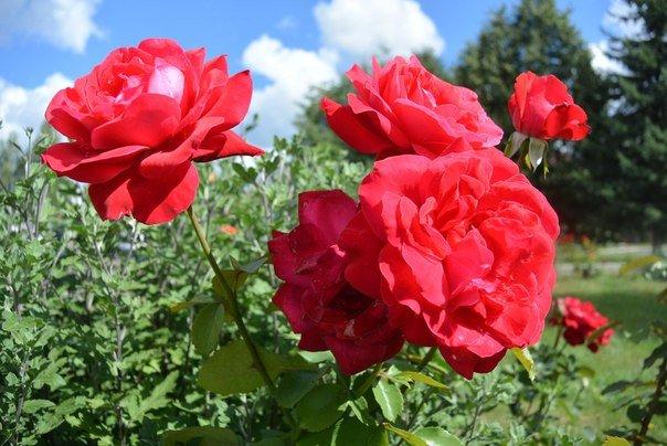 розы - Максим Мальцев