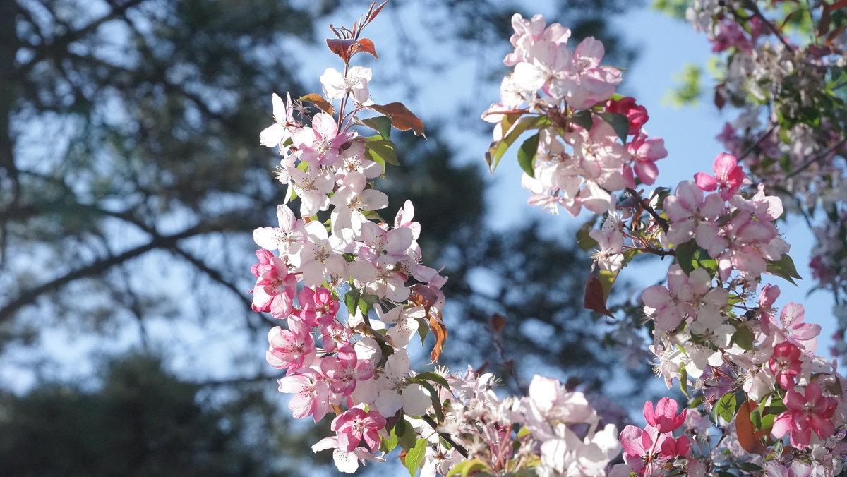 Цветение яблони - Balakhnina Irina