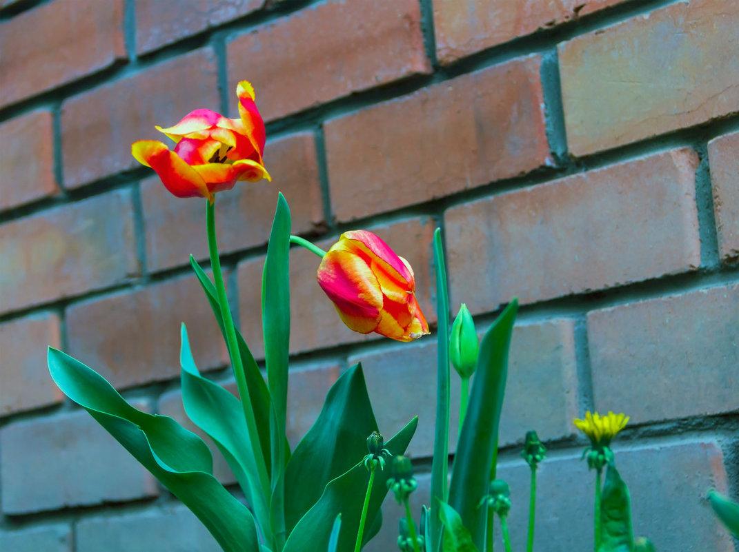 И зацвели тюльпаны - Юрий Стародубцев