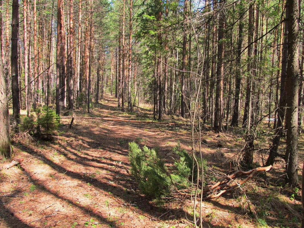 По дорожке в солнечном лесу - Юрий Кузмицкас