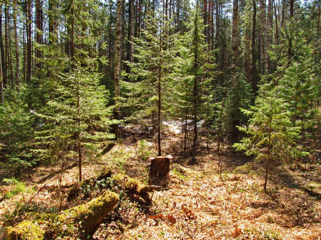 В солнечном лесу - Юрий Кузмицкас