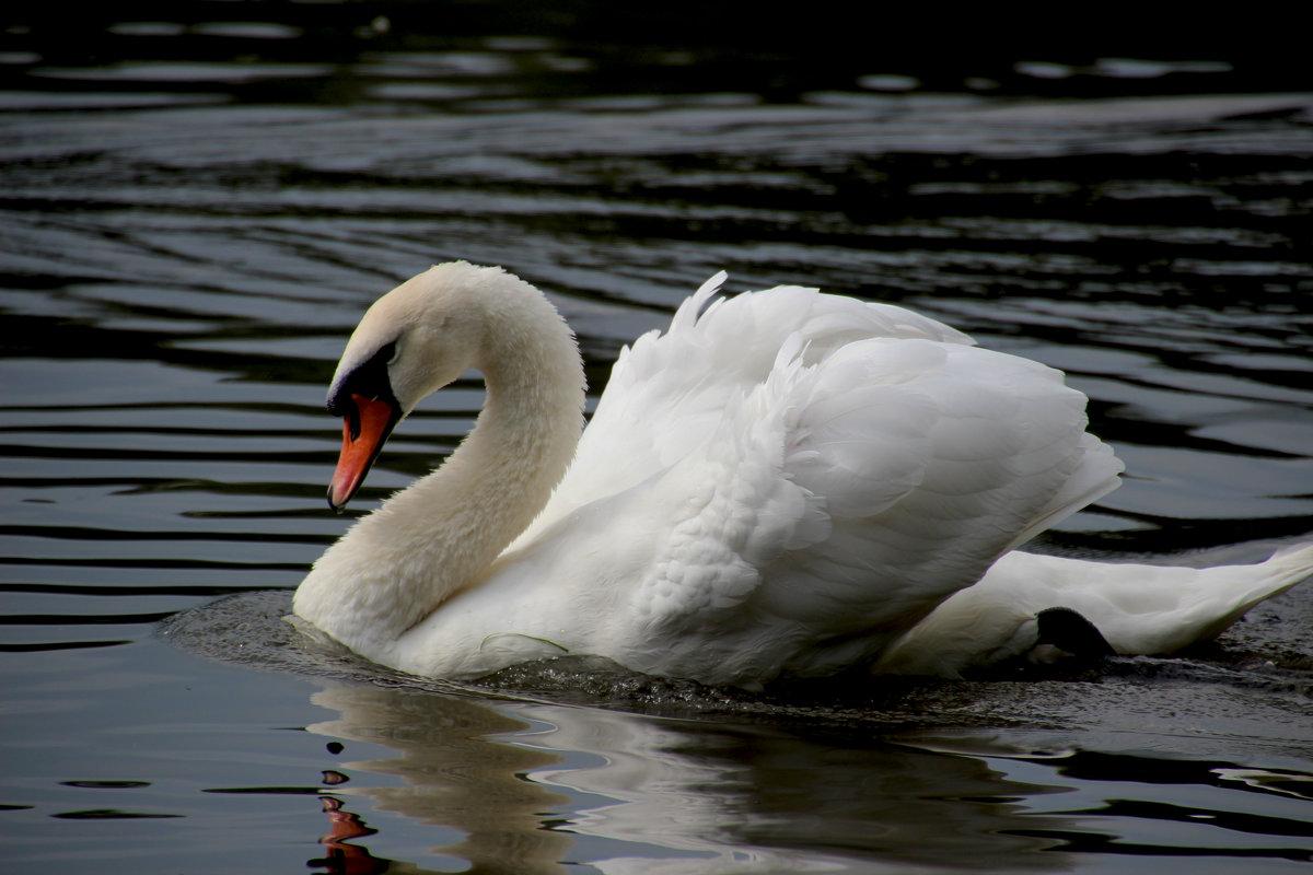 Лебедь - ирина Пронина