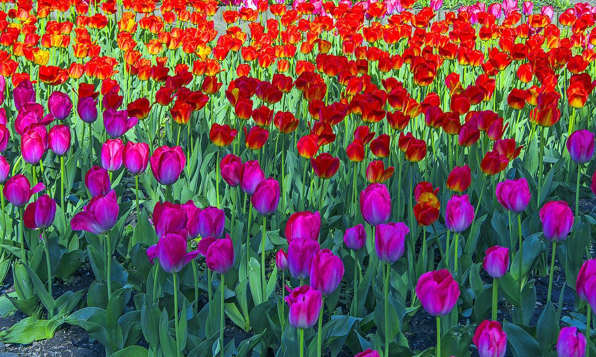 Тюльпаны(1) - Сергей Фомичев