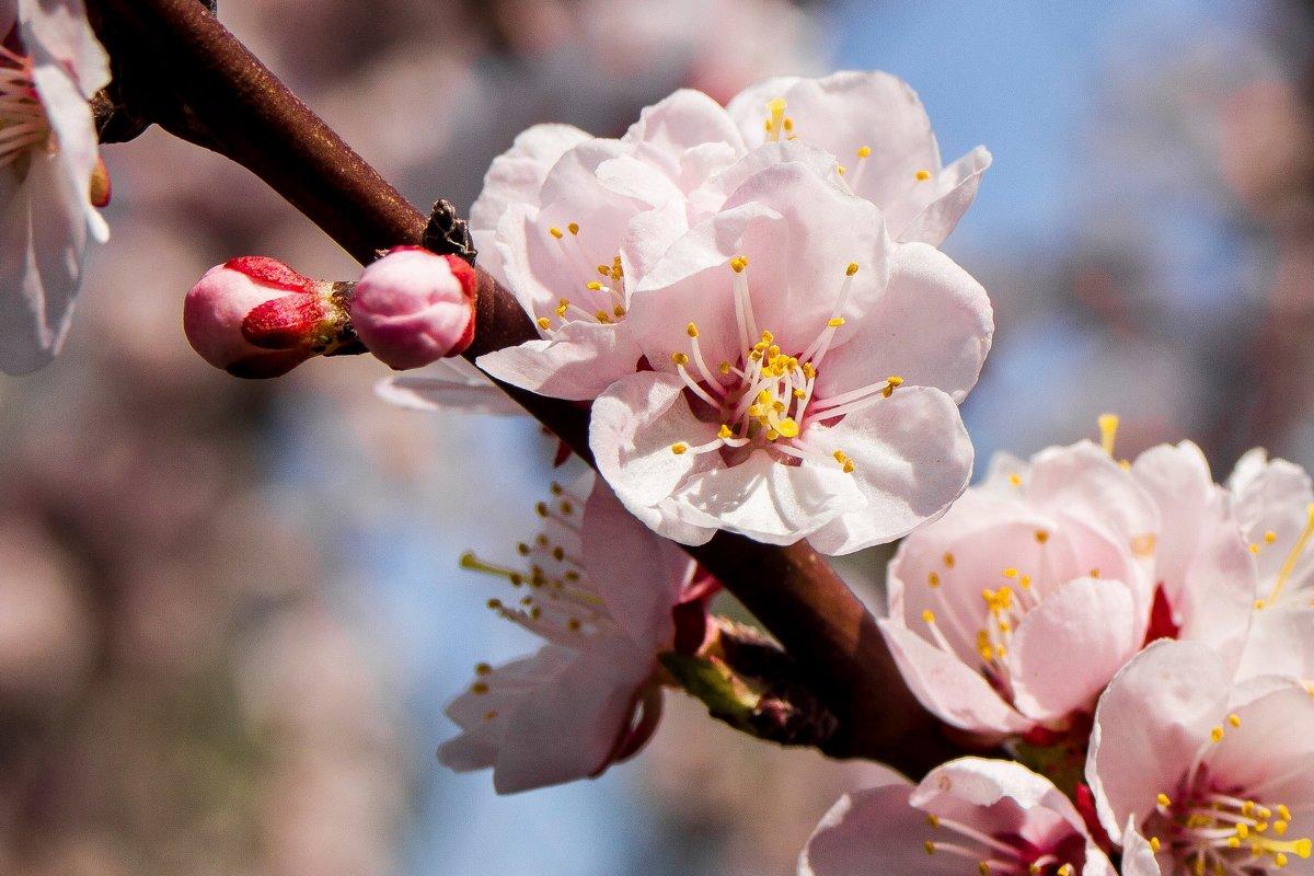 абрикосовое дерево - Алексей Медведев
