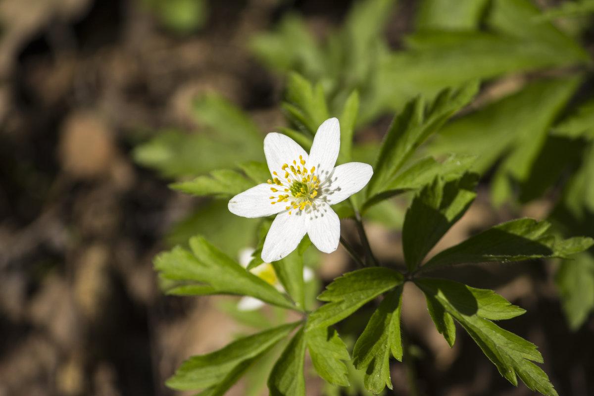 Первые цветы - Sergey Lebedev