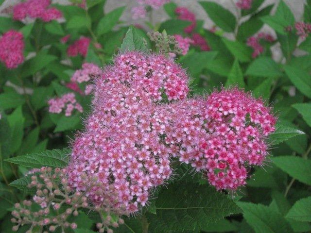 Расцвела буйным цветом спирея - Дмитрий Никитин