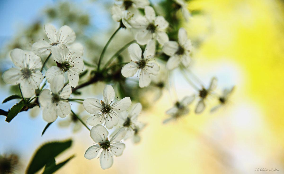 цветение вишни - Oleksii Roshka