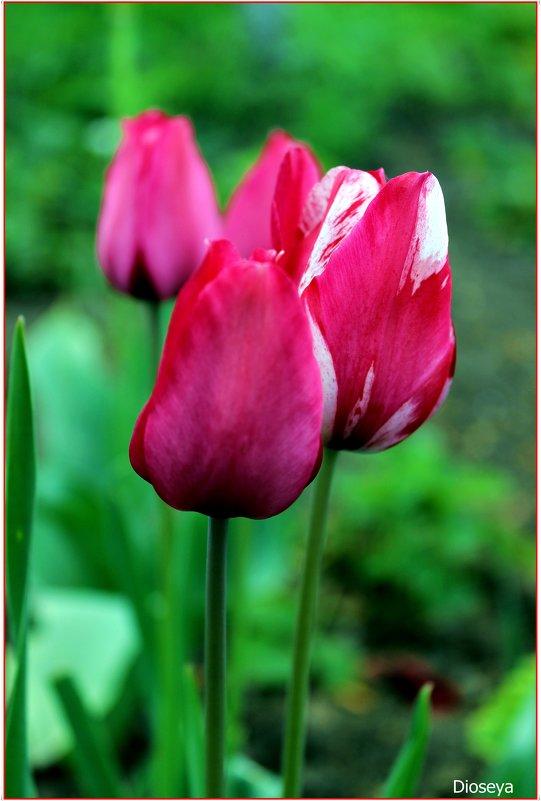 Тюльпаны - Татьяна Пальчикова