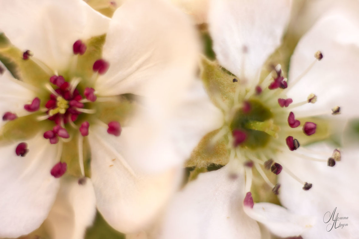 цветение груши - Лолита Арндт