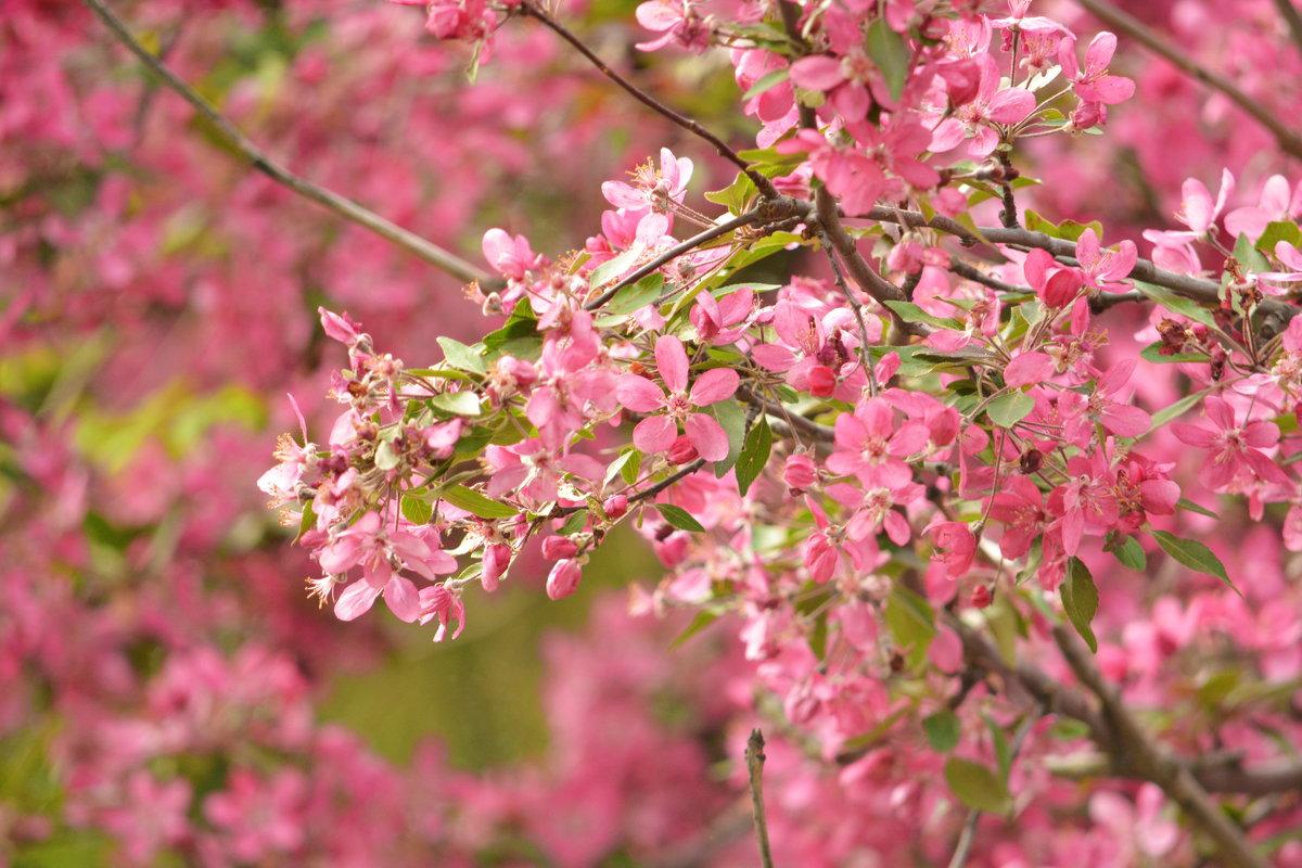 Розовое цветение - Yelena LUCHitskaya