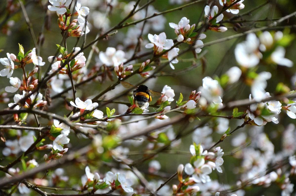 Шмель в цветах вишни - Ирина Н