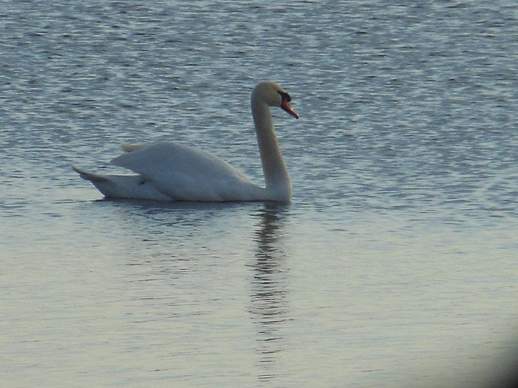 Лебедь на плаву - игорь