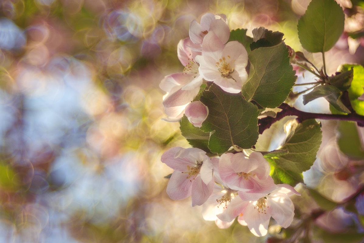 Яблони цветут... - Юлия Холодкова