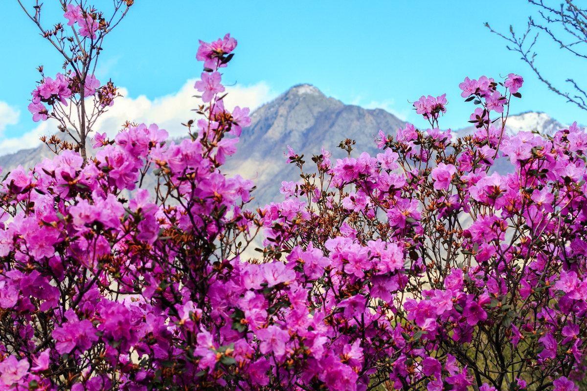 Весной на Алтай! На цветение маральника!
