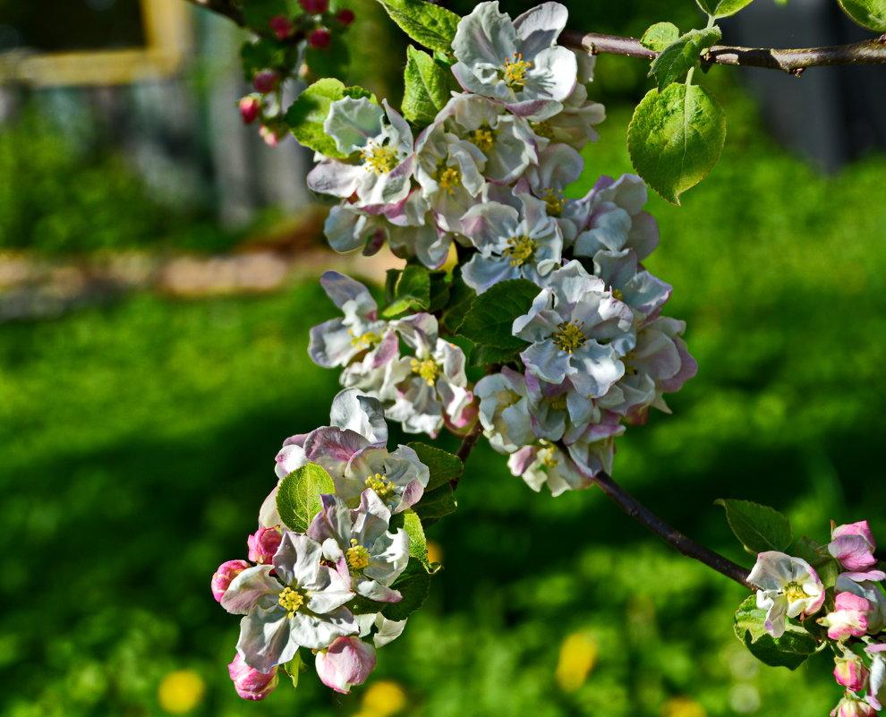 Яблони в цвету!!!!  какое счастье!! - Валентина Папилова