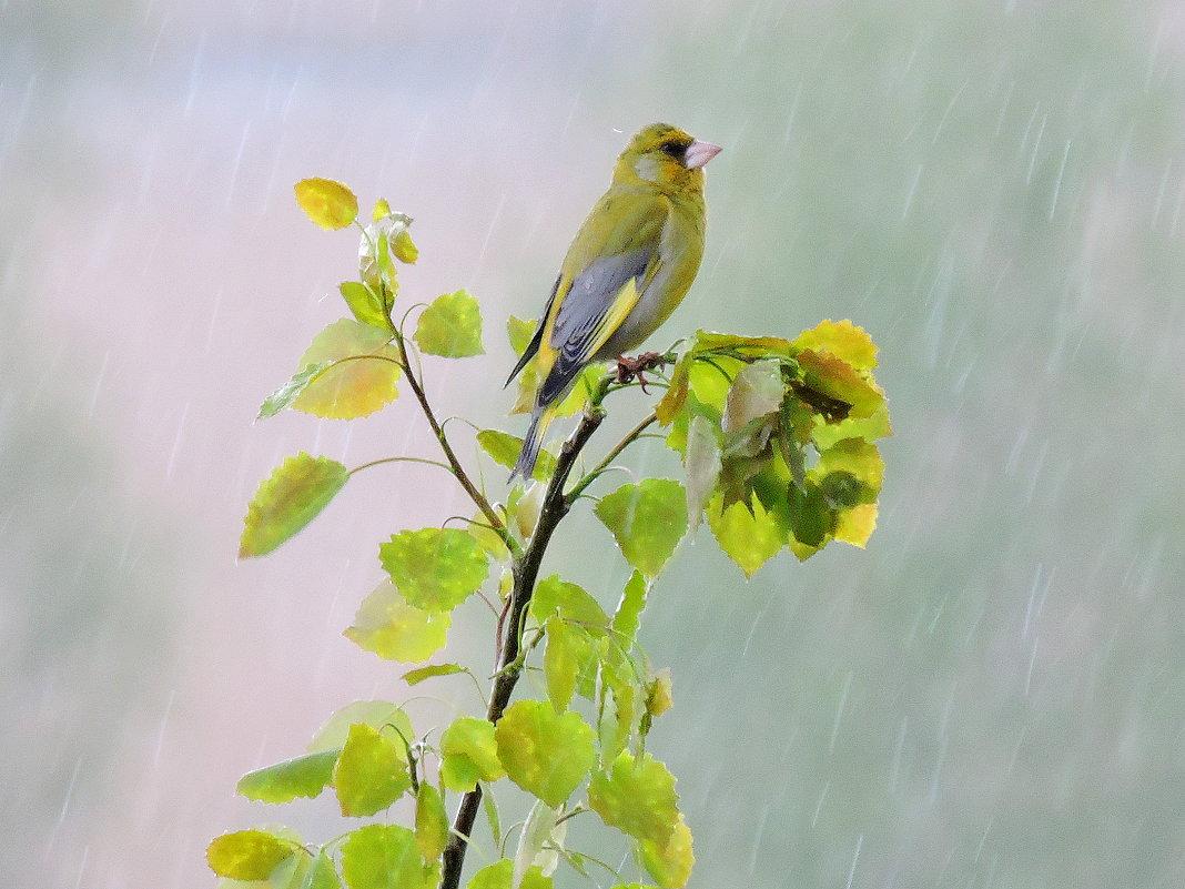 Весенний дождь. - Hаталья Беклова