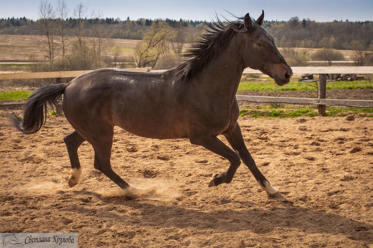 работы Мерчендайзер, карачаевская порода лошадей видео Капитан Повязки Нарукавные