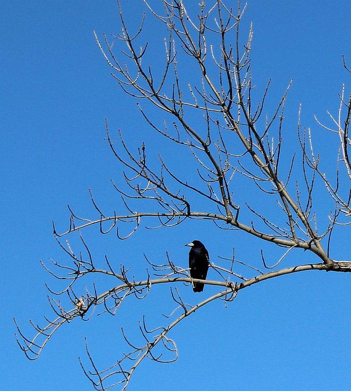 Чернеет мой ворон, такой одинокий, средь голых холодных ветвей... - Светлана