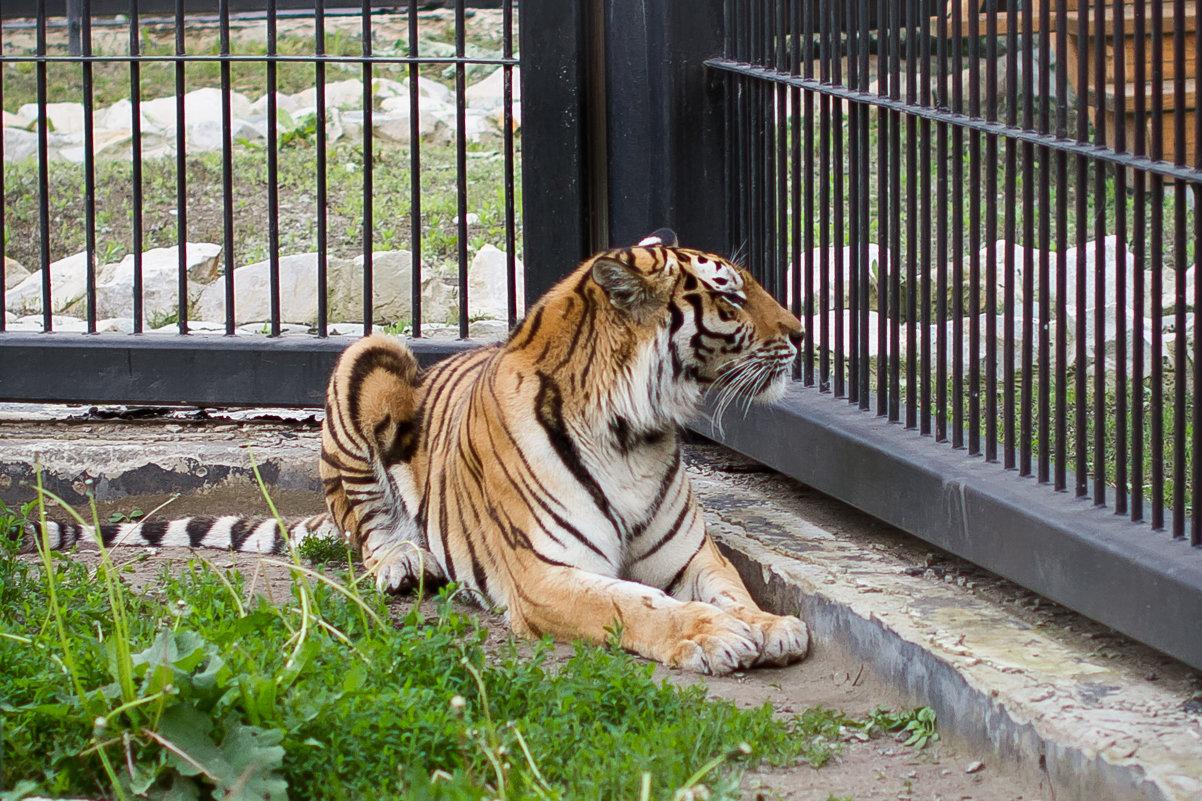 Тигр скучает - Анастасия
