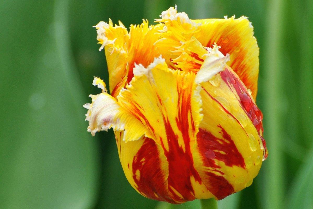 тюльпан - vg154