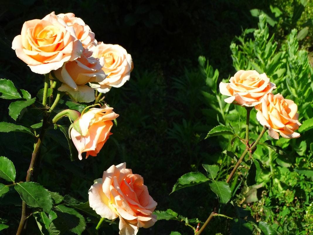 Июньское утро в розах... - Тамара (st.tamara)