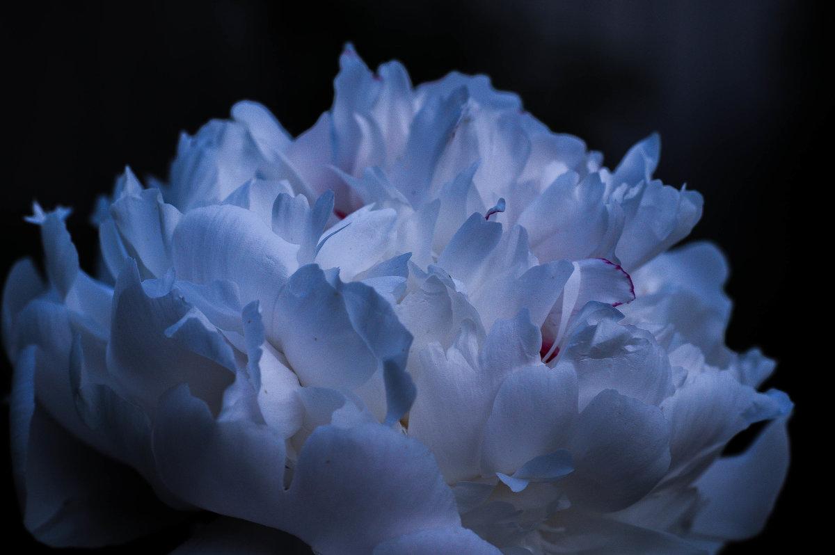 Цветок пиона поздним вечером - Сергей Тагиров
