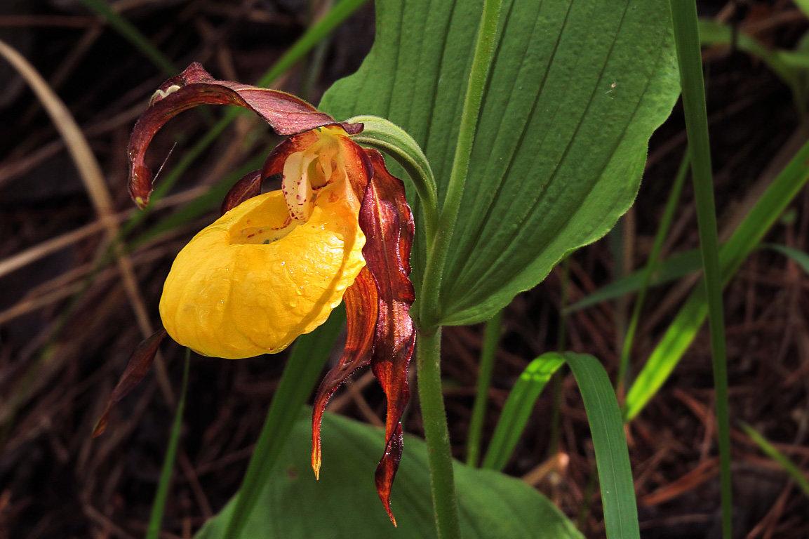 Как выглядит венерин башмачок цветок