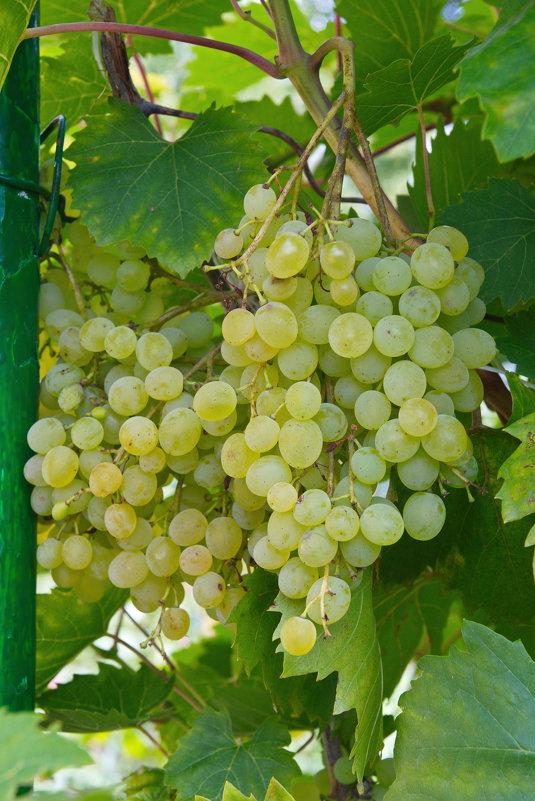 Виногра́д - Олег