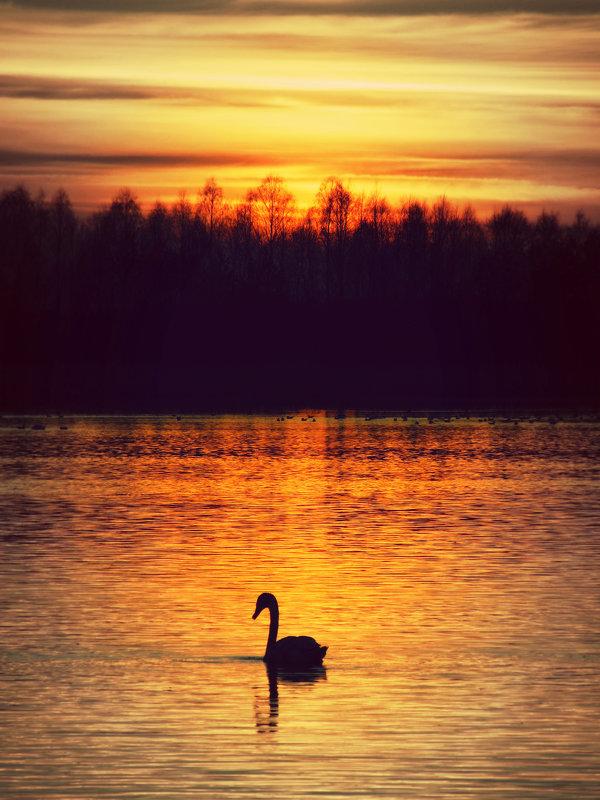 Одинокий лебедь на закате - Ольга