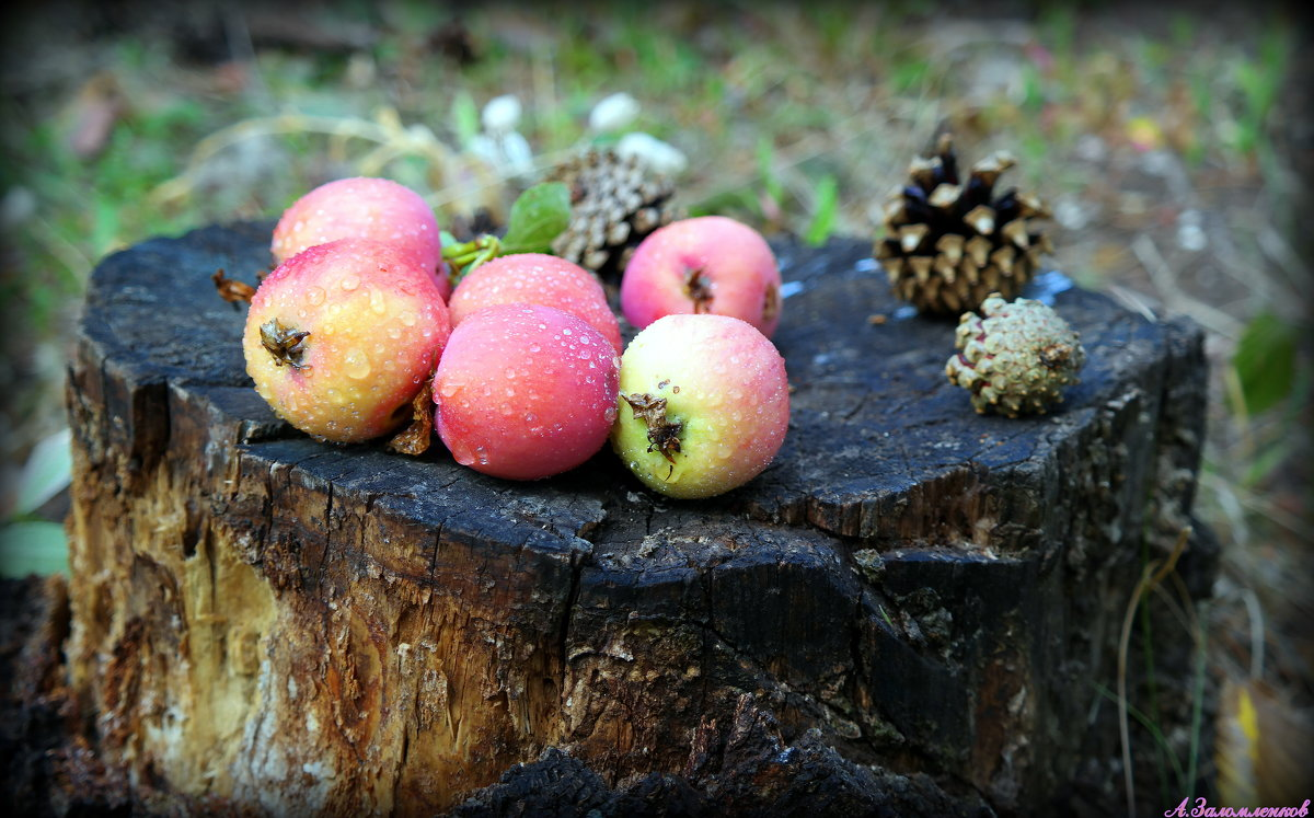 Яблочки лесные - Андрей Заломленков