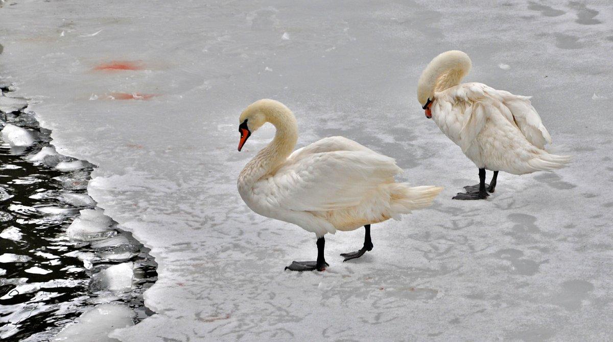 Лебеди на льду - Иван Владимирович Карташов