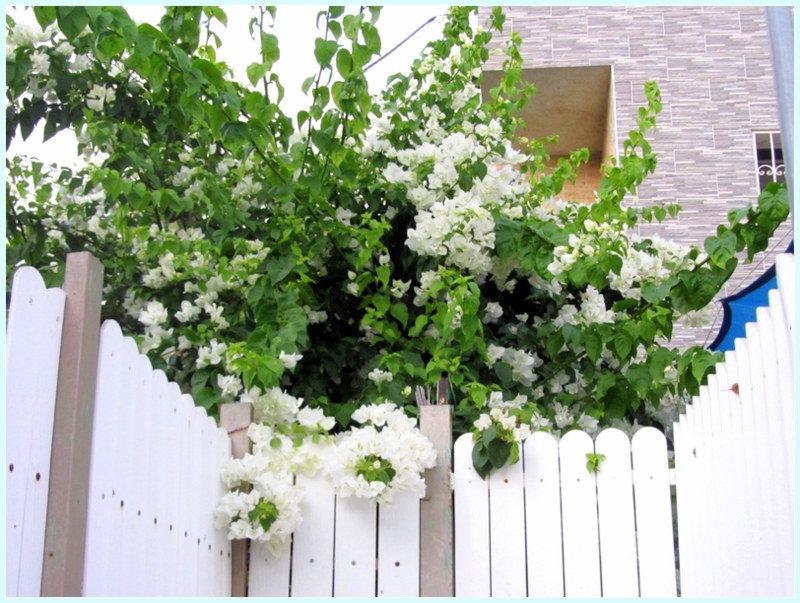 Белая бугенвилия - Герович Лилия