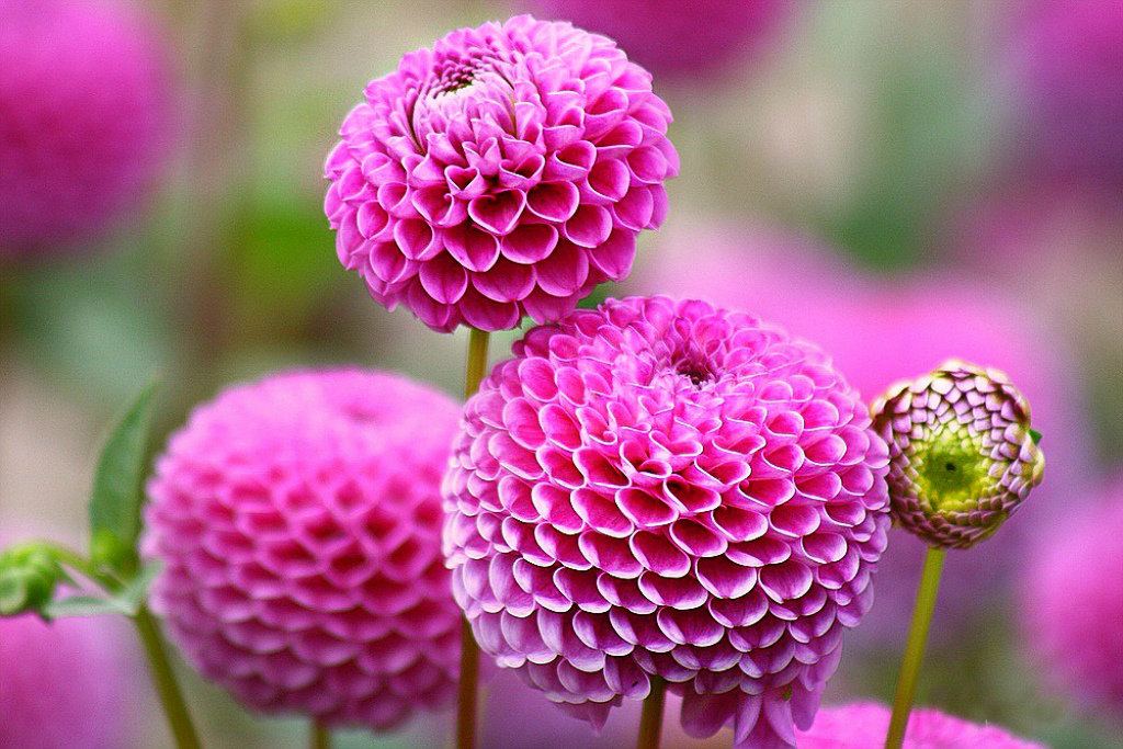 В розовом цвете.. - Клара